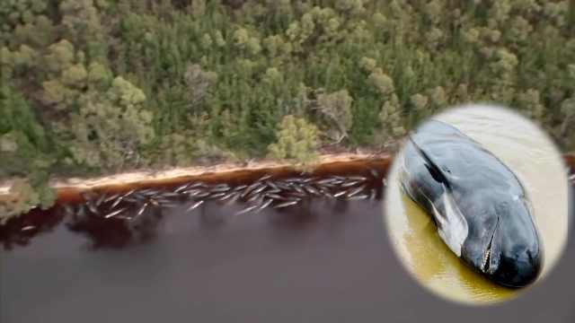 澳大利亚最大鲸鱼搁浅事件:已有380头死亡,搁浅原因仍不明