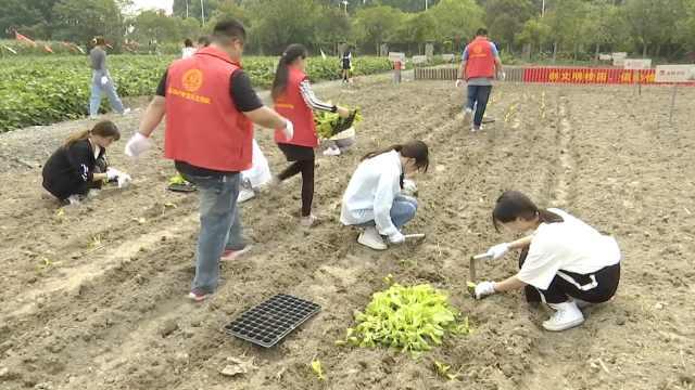 高校校园农田丰收,师生下地掰玉米翻土种新苗