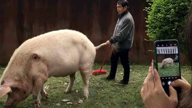 众游客国庆探望13岁猪坚强:住别墅腿瘸胃口好,散步有人扶尾