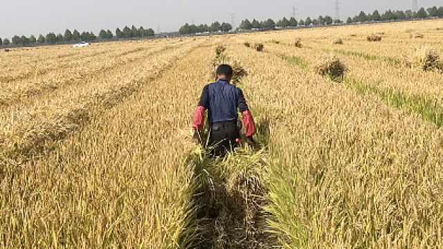 只能靠人工割!东北水稻父本开始收割,1人割60米赚14元