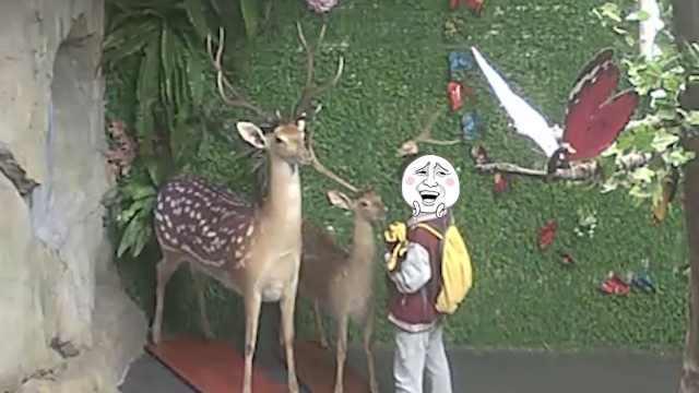 小学生拔走动物园标本鹿角:以为是鹿茸,想给爷爷补身体