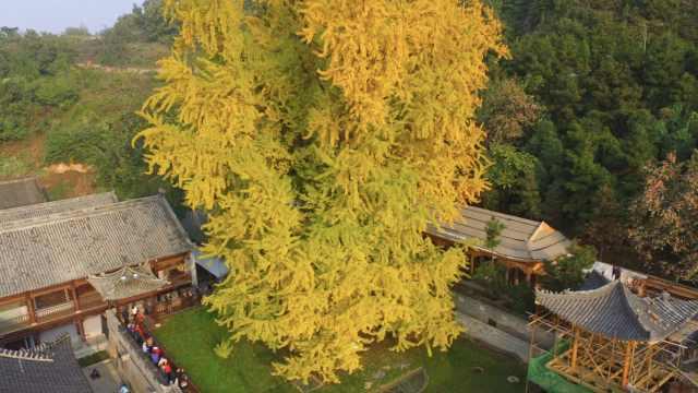 西安古观音禅寺银杏进入观赏期,网上预约日限3000人
