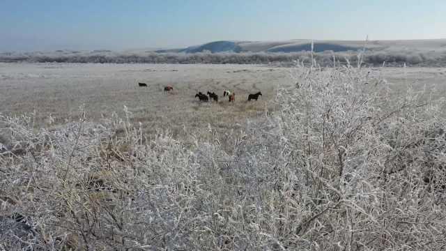 新疆百万亩湿地现雾凇景观,骏马置身其中或漫步或奔驰