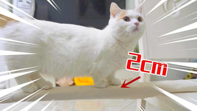 猫的平衡感有多强?居然在2cm细布条上行走!