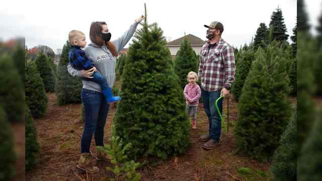 美国真圣诞树销量飙升,疫情期间需求旺盛