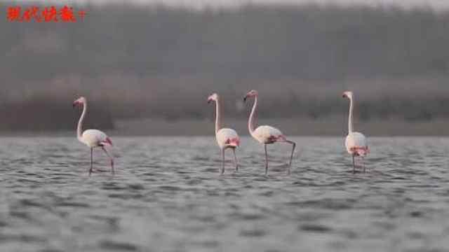 罕见!7只火烈鸟亮相盐城东台条子泥湿地