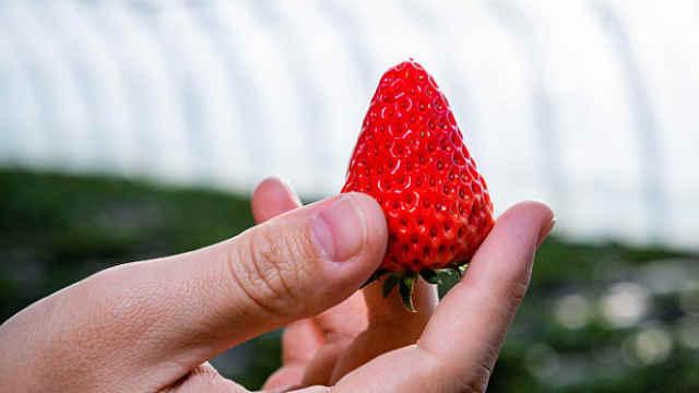 赤峰杨家湾的草莓熟啦,采摘正当时!