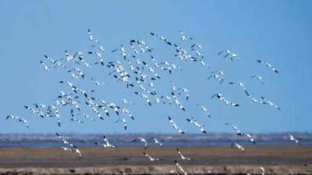 壮观!数千只反嘴鹬在盐城条子泥湿地越冬