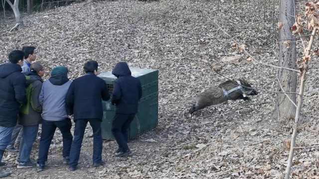 """南京红山动物园放归野猪:""""二师兄""""身背定位器一溜烟跑了"""