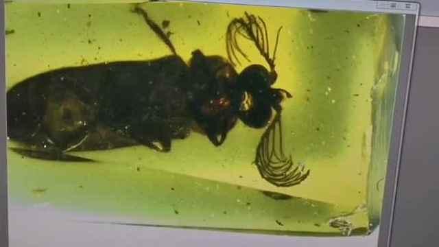 专家发现1亿年前萤火虫的祖先,它发光并不是为了求爱