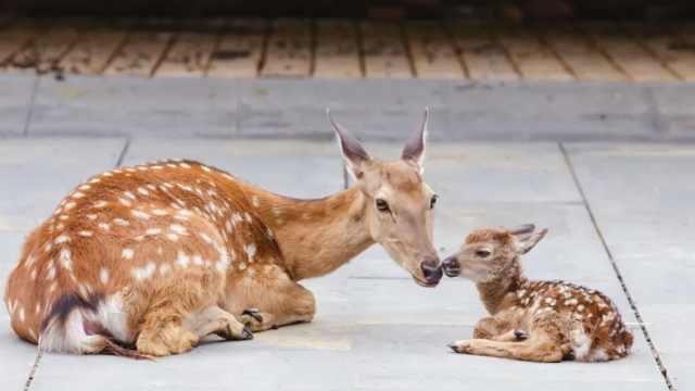 比比谁更萌!成都明星小鹿每天放风1小时,人类幼崽圈外守候