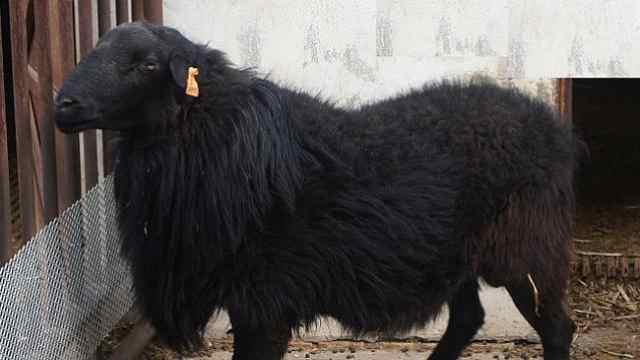 """你想吃混血羊吗?它爸是羊中""""大熊猫"""",它妈是江苏美羊羊"""