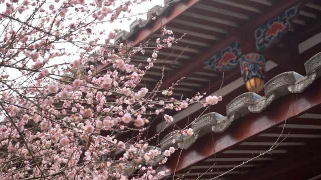 500余株梅花开放!福州千年古寺进入最美花季