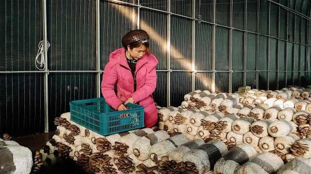 """山海情现实版""""水花"""":种菇实现经济独立,既挣钱又带了娃"""