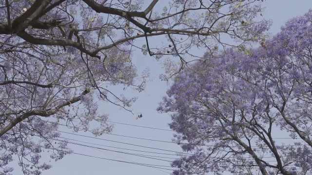去西昌治愈心灵吧!绝美蓝花楹绽放时,全城变紫色花海