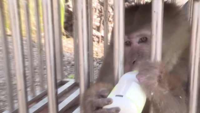 熊猴首次现身云南景东,潜入村民家偷鸡蛋,全国仅有8000只