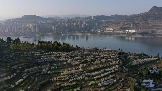 重庆云阳200余亩樱桃花盛开,昔日贫困村旧貌换新颜