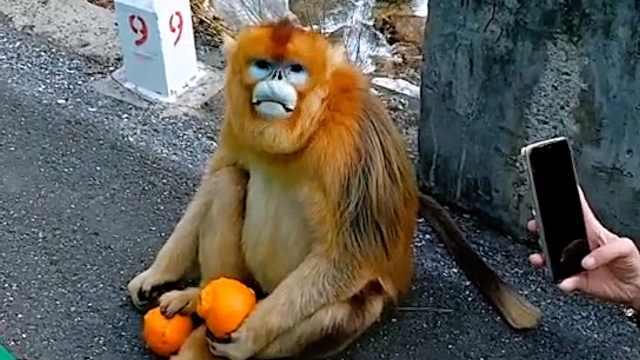 金丝猴组团下秦岭围住出租车讨食,司机:能给的都给了