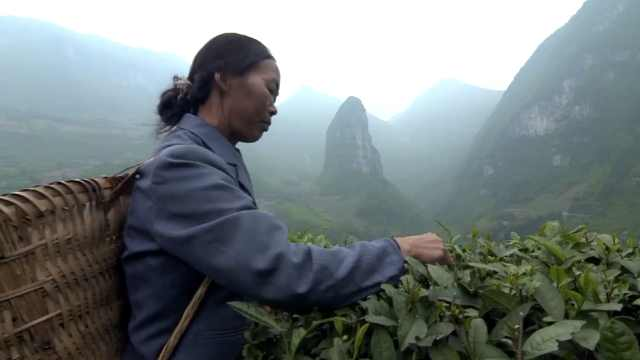 航拍湖北145万亩茶园:茶农穿梭抢摘春茶