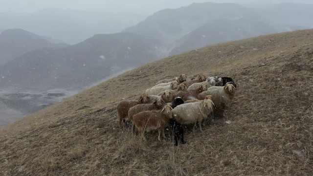 新疆海拔3000米野狼谷大雪纷飞,牛羊雪中觅食悠然自得