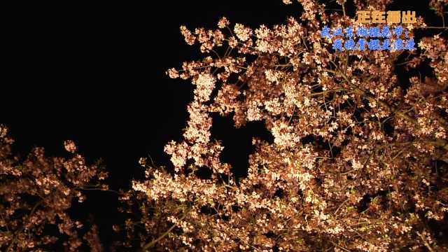 武汉东湖樱花节:夜晚赏樱更浪漫