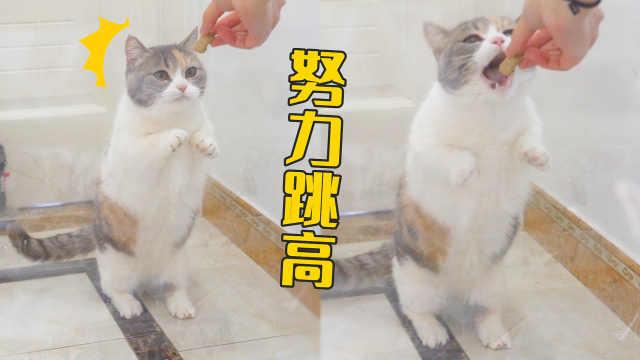 用透明胶带做3层障碍,猫能不能跳过?猫:全部翻车!