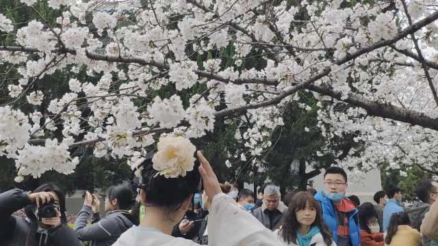 赴春日赏樱之约!武大樱花季迎首批抗疫医护,学生争做志愿者