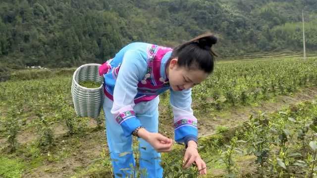 湘西也有白茶,年轻姑娘唱着山歌穿梭茶园
