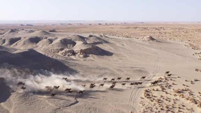 比大熊猫还稀有!甘肃30余峰野骆驼组团奔跑,气壮山河
