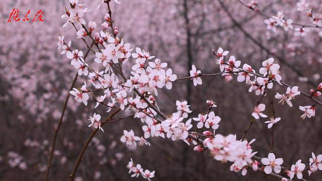 【庆阳视频】正宁县五顷塬回族乡桃花遍山迎春开
