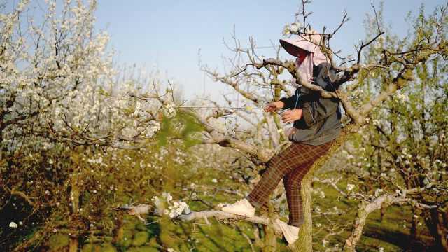 梨树真的分公母吗?万亩梨花开果农攀枝头人工授粉