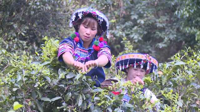云南墨江600年茶王树头采,933克鲜叶拍出23万