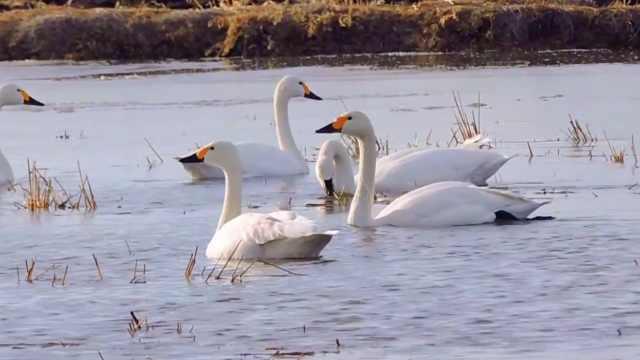候鸟驻足!东北水库变身天鹅湖