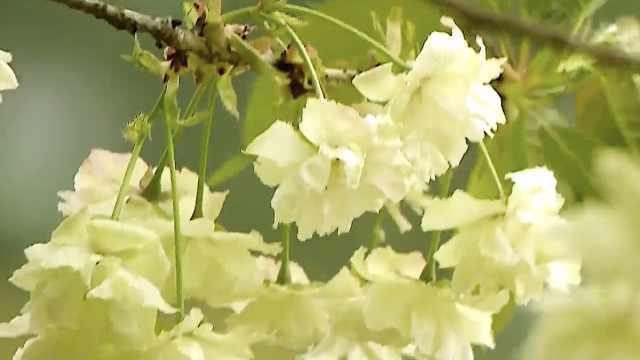 春瞰最江南,苏州太湖之滨这株绿樱