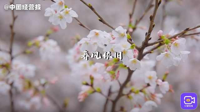 江城水暖,樱花重绽,8个数字纪念武汉重启第365天!