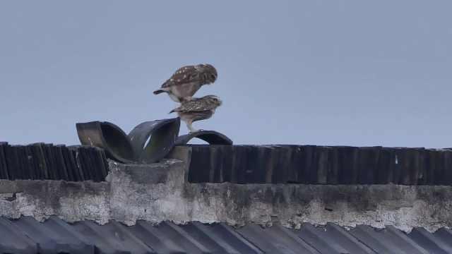 甜齁了!两只猫头鹰屋顶秀恩爱,摄影师拍下羞羞一幕