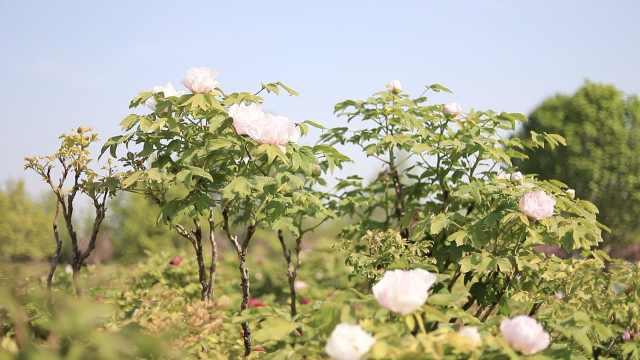 牡丹小镇|农田里种牡丹,中国出口牡丹的98%都产自菏泽