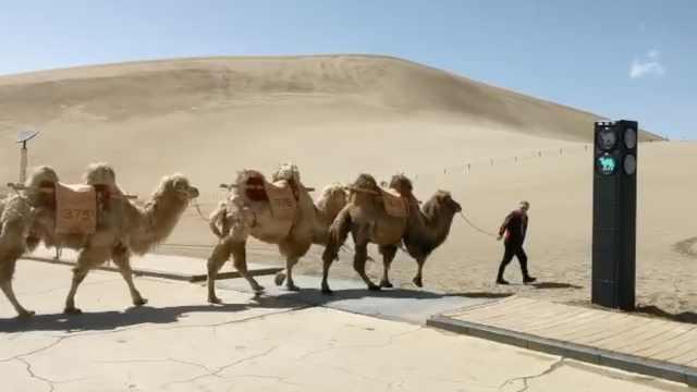 动物也要遵守交通规则!甘肃景区设骆驼红绿灯