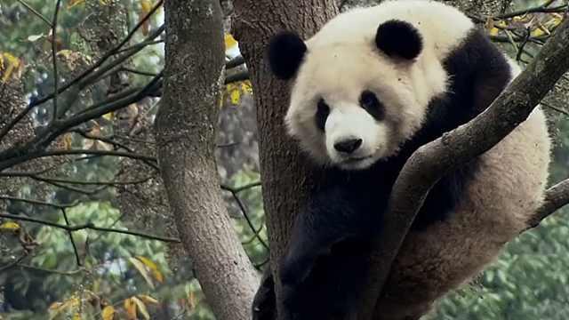 关于大熊猫,你不知道的八件事,为什么大熊猫如此濒危?