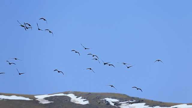 内蒙古迎来鸿雁迁徙高峰,数千万候鸟从额尔古纳飞出国门