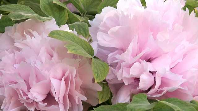 """200岁牡丹开千朵花一天3变颜色,""""喝""""骨头汤进补"""