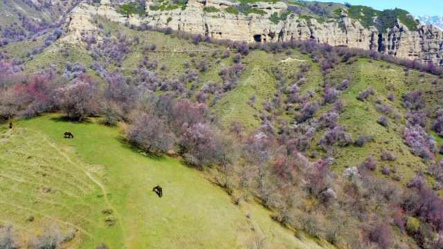 杏、苹果、酸梅、山楂……新疆天山40万亩野生山花轮番盛开
