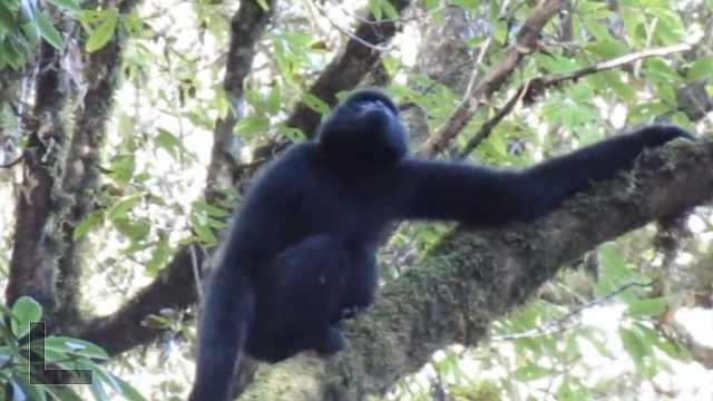 云南西黑冠长臂猿雌雄多少只?专家靠听鸣叫声计数