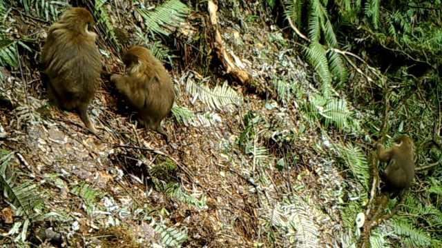 白颊猕猴不仅在西藏!云南高黎贡山发现白颊猕猴新分布种群