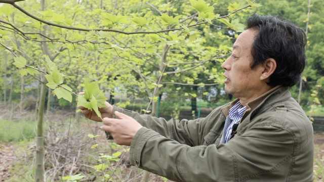 小伙变老头!华农教授28年培育出不飞絮梧桐,多数时间在地里