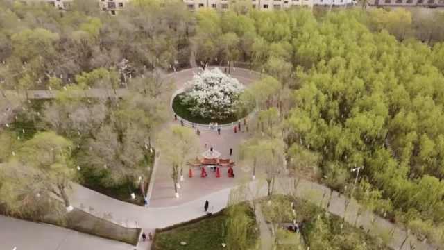 135岁梨树开花:花冠面积300平,一次浇水20吨