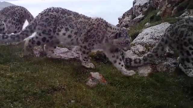 长大了!红外相机拍下野生小雪豹成长过程