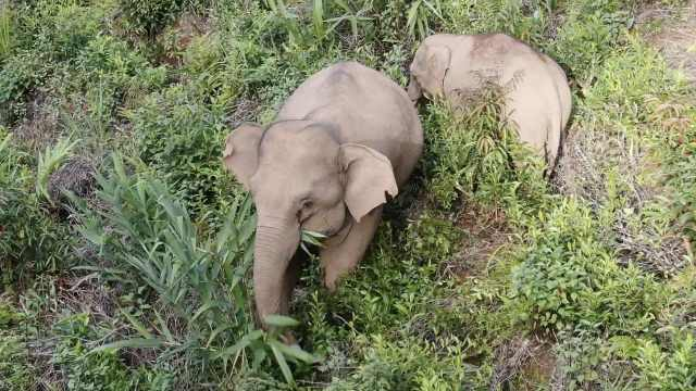 两头亚洲象离群出走另立门户,走错方向靠近云南墨江引围观
