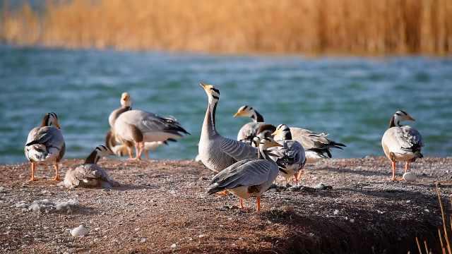 """候鸟回归!高原精灵""""斑头雁""""迁徙苏干湖孵蛋育雏"""