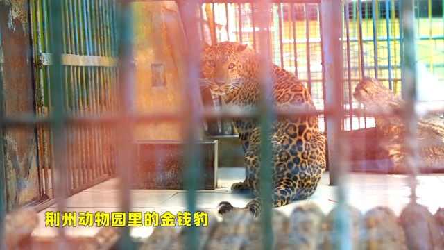 探秘动物园金钱豹馆